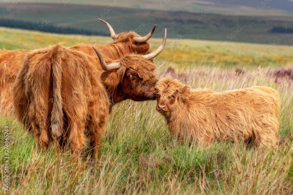 Fototapeta Highland cow and its calf in Dartmoor, Devon, UK