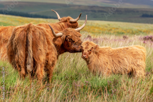 Leinwand Poster Highland cow and its calf in Dartmoor, Devon, UK