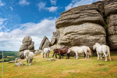 Fototapeta Dartmoor Ponies near Saddle Tor, Dartmoor, Devon, UK