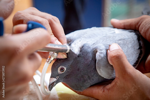 plakat vaccine treatment on pigeon neck