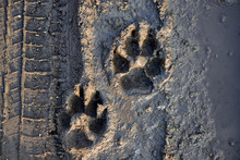 Footprints On A Muddy Road Wit...
