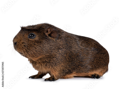 Foto  Cute crested cavy, standing side ways