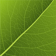Leaf Vein Background - illustration