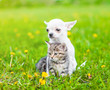 canvas print picture - Chihuahua puppy hugging kitten on a dandelion field