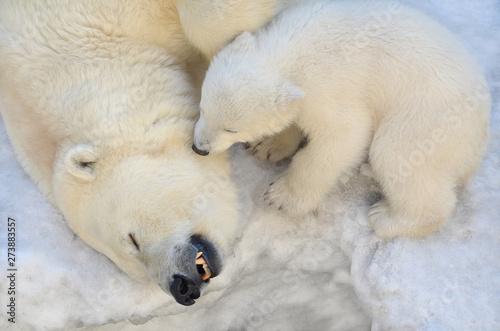 Bear with a bear sleeping in the snow.