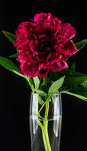 Burgundy Peony In A Glass Vase...
