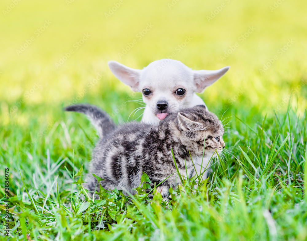 Chihuahua puppy and a kitten walking together on a green summer grass