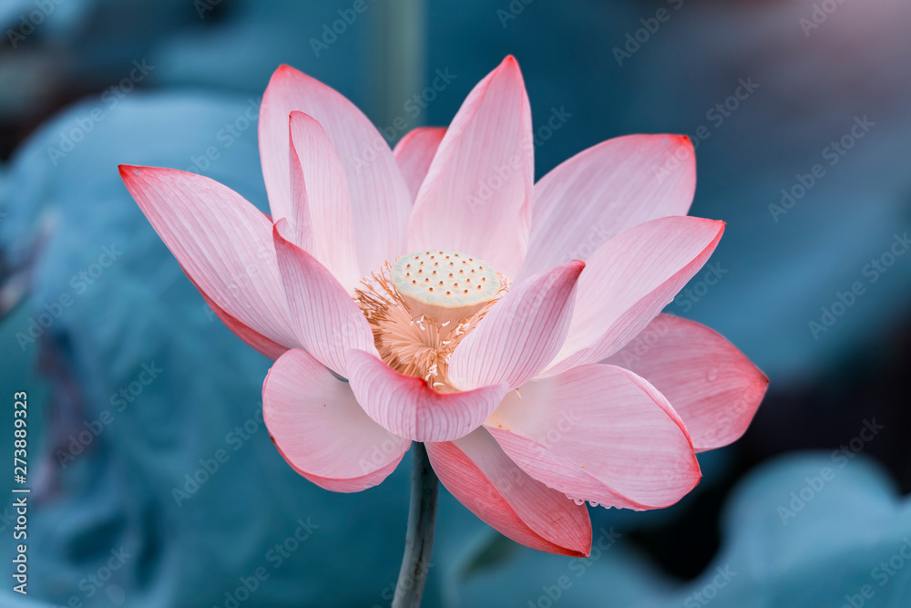 Fototapety, obrazy: lotus flower plants with green leaves in lake