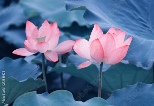 Foto auf Gartenposter Lotosblume lotus flower plants with green leaves in lake