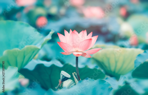 Tuinposter Waterlelies lotus flower plants with green leaves in lake