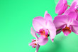 Leinwandbild Motiv Phalaenopsis orchid flowers closeup on a green background, place for text, bright natural color.