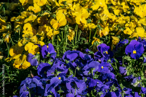 Papiers peints Pansies blue flowers of viola in the garden