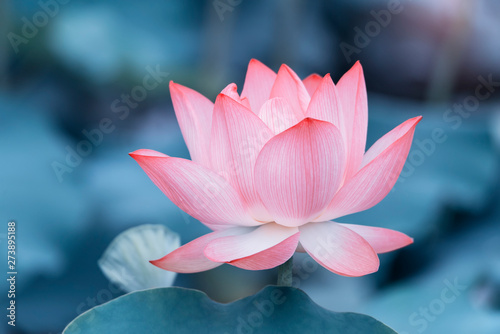 In de dag Waterlelies lotus flower plants with green leaves in lake