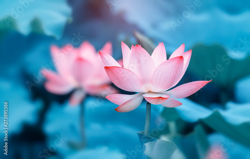 Fotografia  lotus flower plants with green leaves in lake