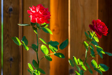 Two Rose Plants Backlighted By...