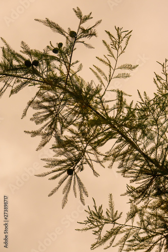 Outdoor silhouetted pine needle texture stem branch with yellow sky background