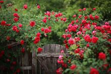 Beautiful Red Rose Bush Abunda...