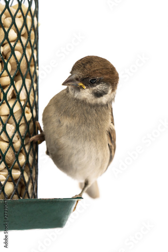 Fotografie, Tablou Juvenile european tree sparrow on green bird feeder with peanuts looking at the