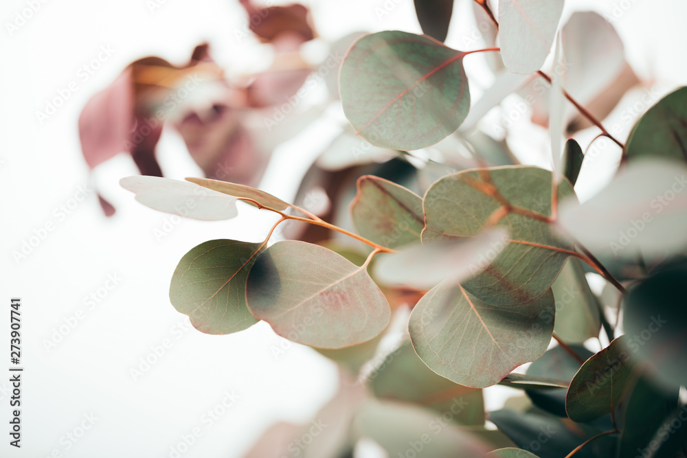 Fototapety, obrazy: selective focus of green eucalyptus leaves isolated on white