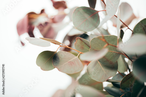 Fototapeta  selective focus of green eucalyptus leaves isolated on white