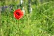 Czerwony polny mak na zielonej, słonecznej łące.