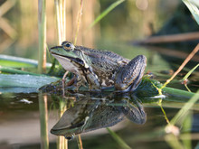 A Frog Sitting In The Reeds Is Reflected In The Water On A Sunny Morning In The Summer.