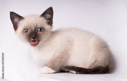 Pinturas sobre lienzo  Grey siamese angry cat with blue eyes looking at camera isolated on white backgr