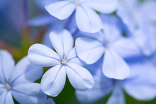 Close Up Of Light Blue Jasmine Or Plumbago (Ixora) Flower. Nature Background. Soft Focus