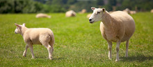 Troupeau De Mouton Et Agneau D...