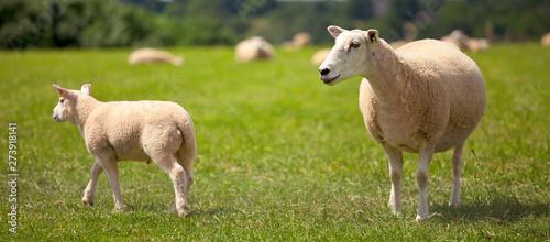 Photographie Troupeau de mouton et agneau dans les prés