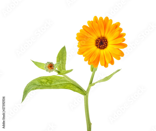 Deurstickers Bloemenwinkel Marigold flower with green leaves isolated on white background. Calendula flower.