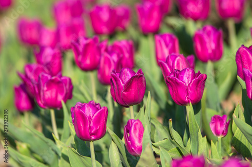 Poster Rose Wild purple tulips on a glade on a sunny day.