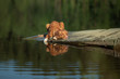 canvas print picture red dog on a wooden bridge on the lake. Nova Scotia Duck Tolling Retriever in nature