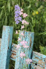 Inflorescence Of Blue Flowers On The Background Of The Old Blue Picket Fence