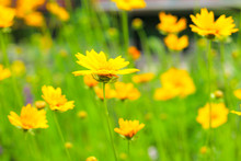 Yellow Daisies On A Green Field