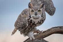 Great Horned Owl Unfurling Win...