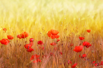 Obraz na Szkle Do sypialni Photo landscape of beautiful red poppies flowers on a field