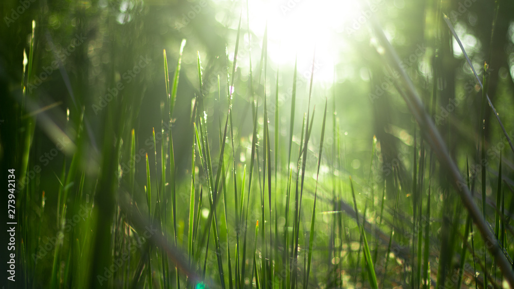 Fototapety, obrazy: green grass in the rays of sunlight, glare, natural background.