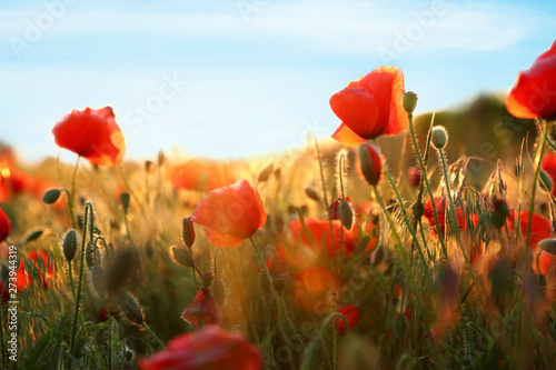Sunlit field of beautiful blooming red poppy flowers and blue sky