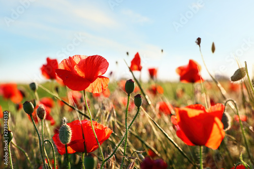 Canvas Prints Poppy Beautiful blooming red poppy flowers in field on sunny day