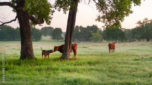 фотография  Calf and farm dog friendly nose touch