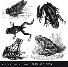 Set Of Vector Vintage Illustrations Of Amphibian