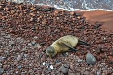 Baby Sea Lion Lying On Red Gravel Beach