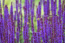 Bumble Bees Pollinating Blooming Purple Salvia, Purple And Green Garden