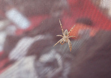 Large Poisonous Spider On A Tent Close-up.