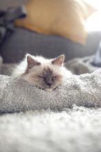 Sacred Birman Cat Sleeping On ...