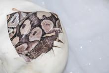 Snake Egg Ball Python On A Brown Wood Color.Purple Albino Ball Python On White Background.