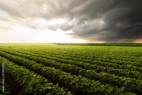 Soybean Field Rows Wallpaper Mural