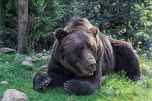 Big European Brown Bear Lying ...