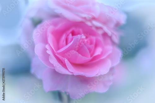 Beautiful fresh spring rose flowers